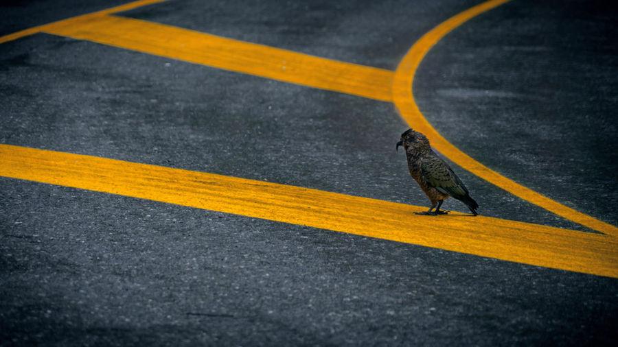 Kea (Bird) on the Road Animal Themes Animal Wildlife Animals In The Wild Asphalt Bird Day High Angle View Kea Mammal No People One Animal Outdoors Road