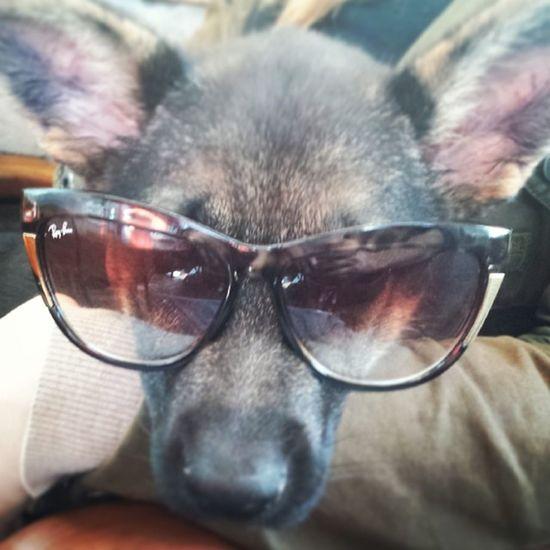 Benim kiz cool yaa GSD Germanshepherdlove Cool Puppy