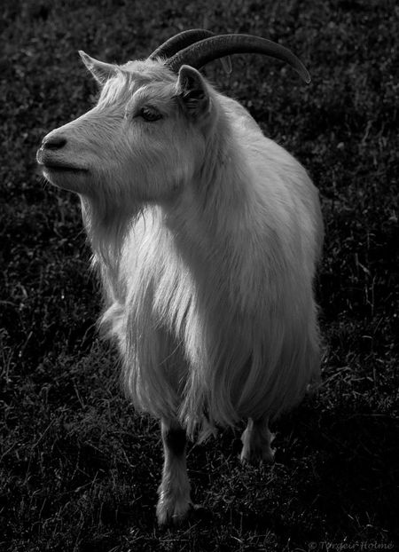 Goat Goats Animal Themes No People Outdoors Grass One Animal