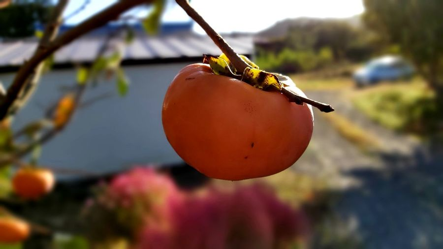 Close-up of orange fruit hanging on tree
