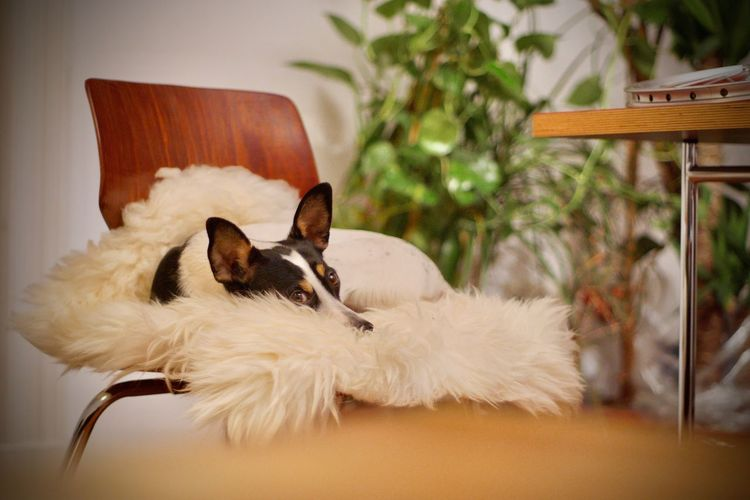 Animal Themes Cute Dog  Day Dog Dog Chilling Dog On Chair Domestic Animals Indoors  Mammal No People One Animal Pets