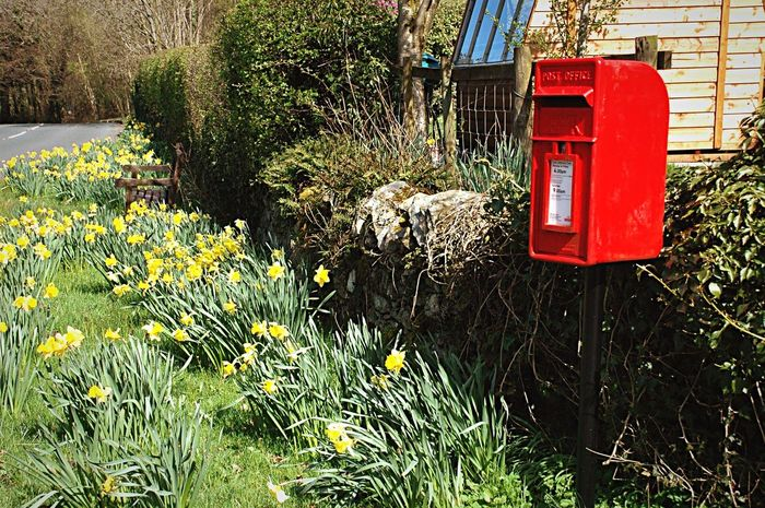 Daffodils Red Post Box Post Box  Country Road Country Life Countryside Rural