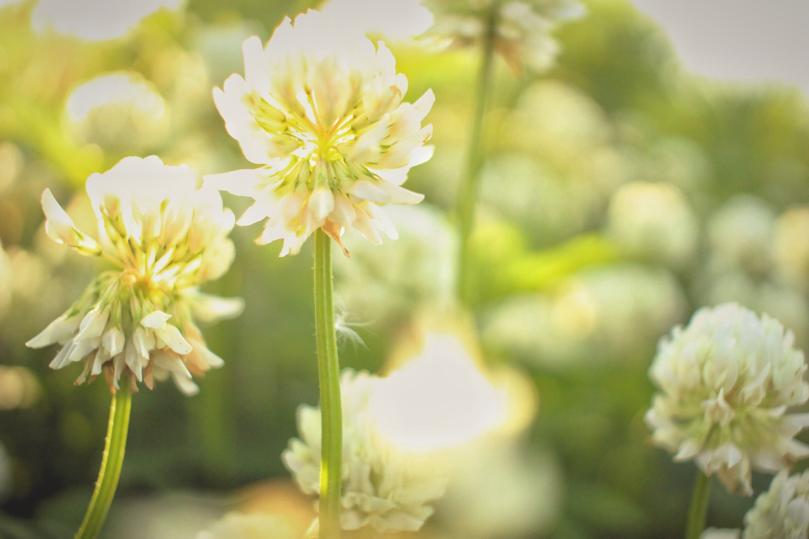 flower, freshness, petal, fragility, growth, focus on foreground, flower head, beauty in nature, close-up, blooming, nature, white color, plant, in bloom, stem, blossom, selective focus, outdoors, park - man made space, day