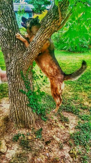EyeEm Nature Lover TreePorn Capturing Movement My Dogs Are Cooler Than Your Kids The K9GB Enforcer Training Day RePicture Learning Going The Distance Who's Afraid Of The Big, Bad Wolf?