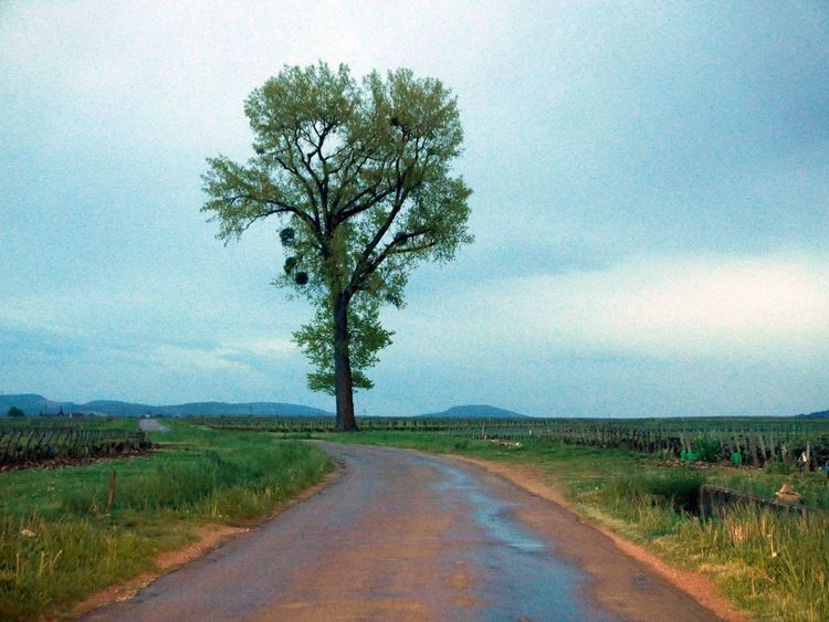 Tree along a small country road after rain Burgundy France After Rain Country Road Landscape Solitary Tree Burgundy France