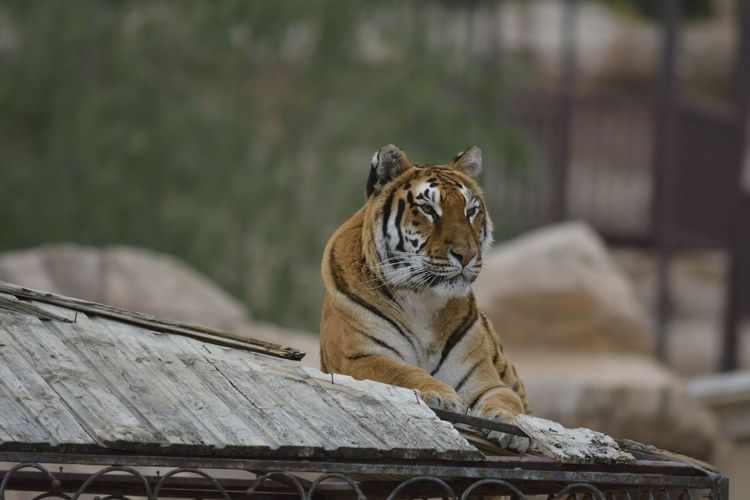 Tiger Sitting On Wood In Zoo