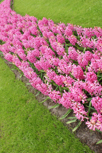 High angle view of pink flowers on field
