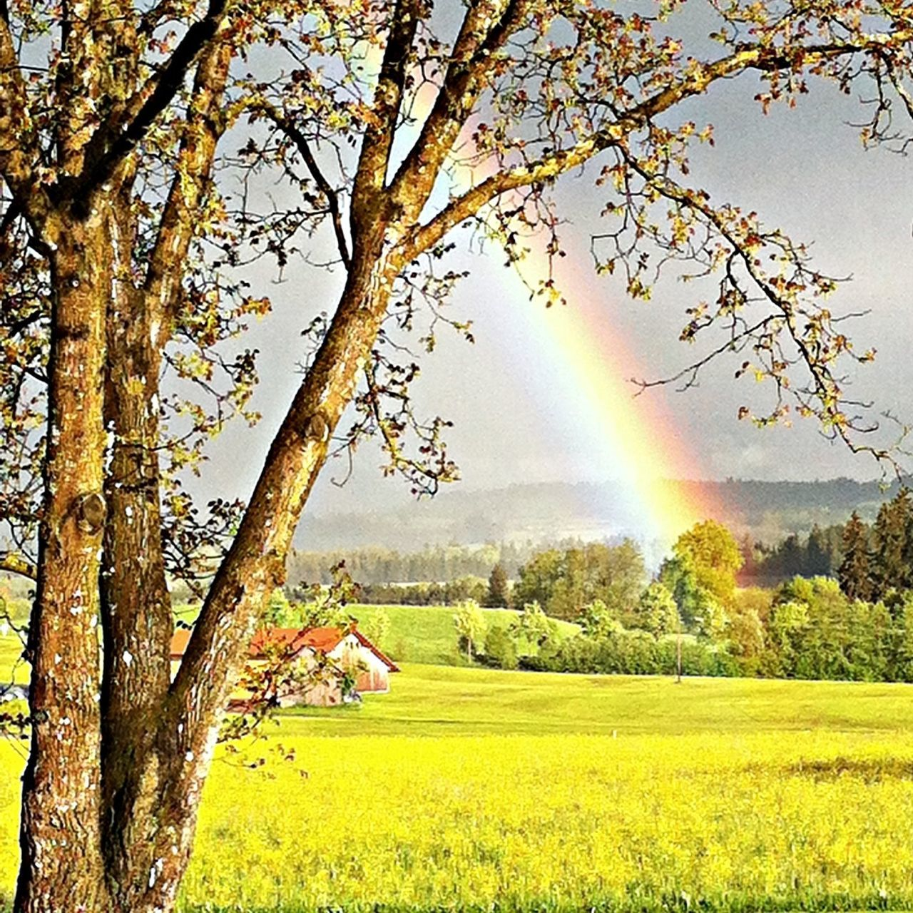 tree, nature, beauty in nature, rainbow, scenics, idyllic, tranquility, tranquil scene, field, day, growth, no people, landscape, double rainbow, green color, outdoors, rural scene, grass, sky