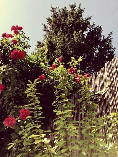 My Rosegarden