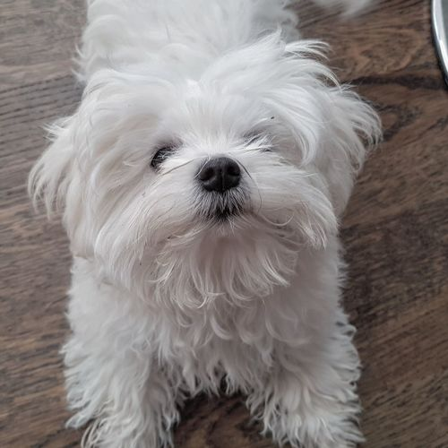 What? #maltese #dog #furbaby #pet #petphotography #Relaxing #relax #puppy #dogeyes Cute Animal Hair Close-up