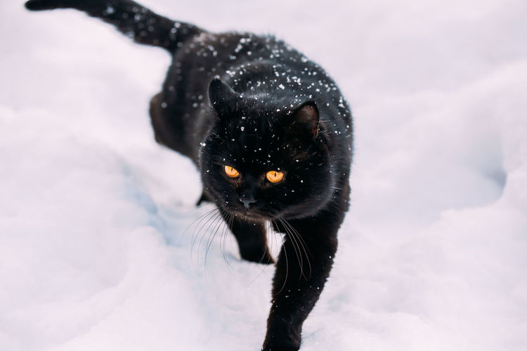 Close-up of a black cat in snow