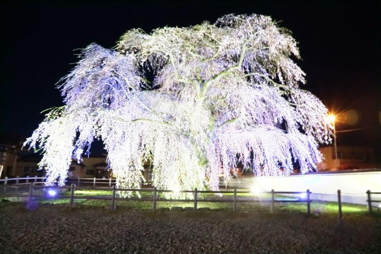 しだれ桜 Night