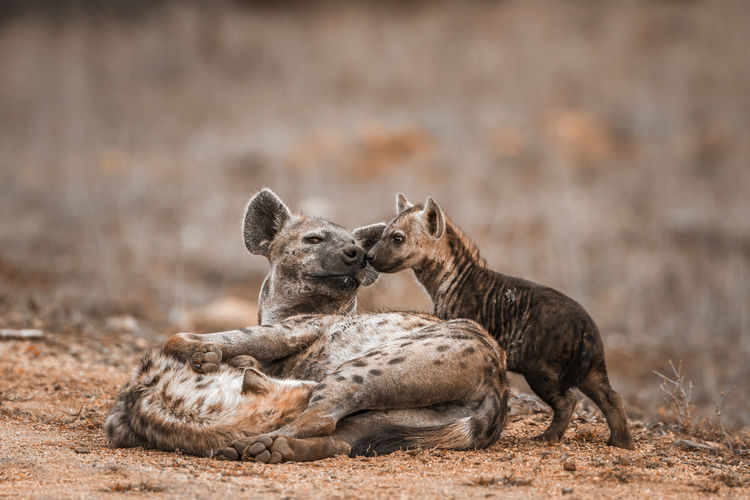 Close-up of hyenas on land