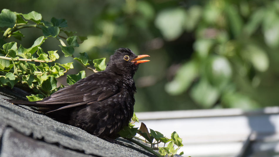 Blackbird Sunbathing Green Sunbathing☀ Animal Animal Themes Animal Wildlife Animals In The Wild Bird Black Color Blackbird Day Focus On Foreground Nature No People One Animal Outdoors Perching Plant Summer Sunbathing Sunning Vertebrate