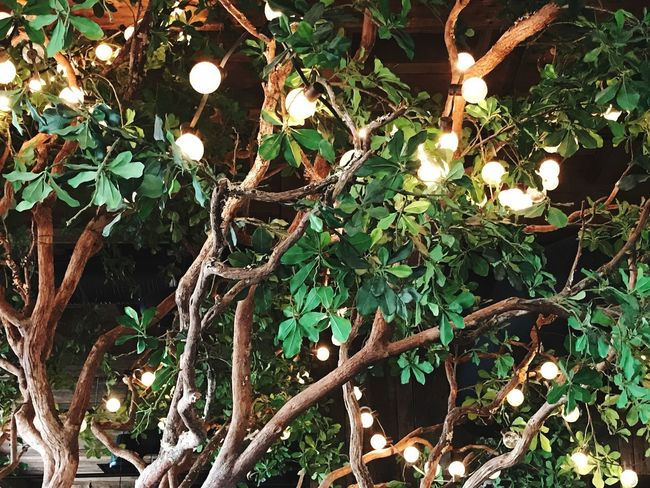 Lights in a tree provide atmosphere. Light String Leaves Decor Atmosphere Bulbs Plant Tree Growth No People Branch Nature Plant Part Low Angle View