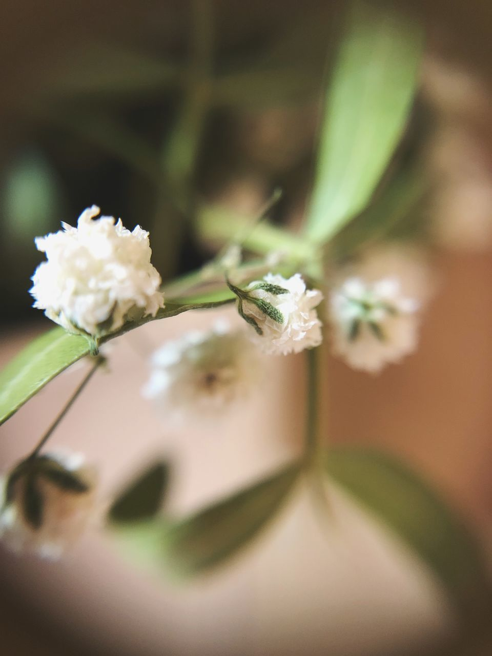 flowering plant, flower, plant, selective focus, beauty in nature, freshness, close-up, growth, fragility, vulnerability, leaf, plant part, nature, no people, white color, day, outdoors, green color, plant stem, petal, flower head