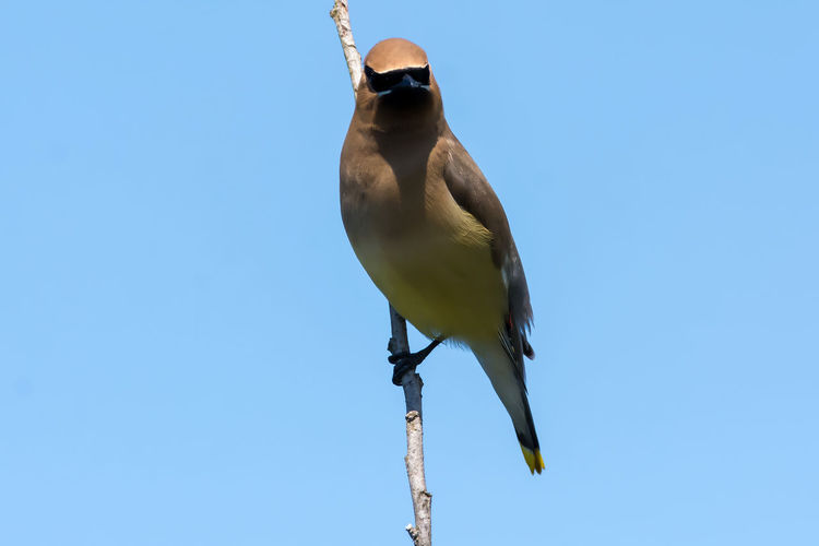Cedar Waxwing with blue background photo series Animals In The Wild Bird Photography Birds Of EyeEm  Birdwatching Cedar Waxwing Patterns In Nature Photo Series Animal Photography Animal Themes Animal Wildlife Animals In The Wild Bird Bird Watching Birds_collection Birds_n_branches Blue Blue Sky Clear Sky Day Low Angle View Nature No People One Animal Outdoors Perching