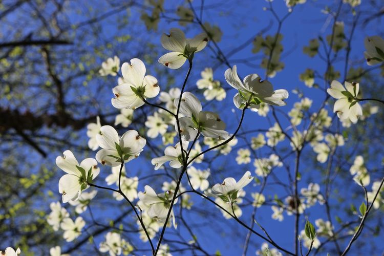 Dogwood blossoms seem suspended between the earth and a deep blue sky. Beauty In Nature Blooming Blossom Botany Branch Close-up Day Dogwood Dogwood Blossom Dogwood Tree Flower Flower Head Fragility Freshness Growth Low Angle View Nature No People Outdoors Petal Springtime Tree Twig White Color
