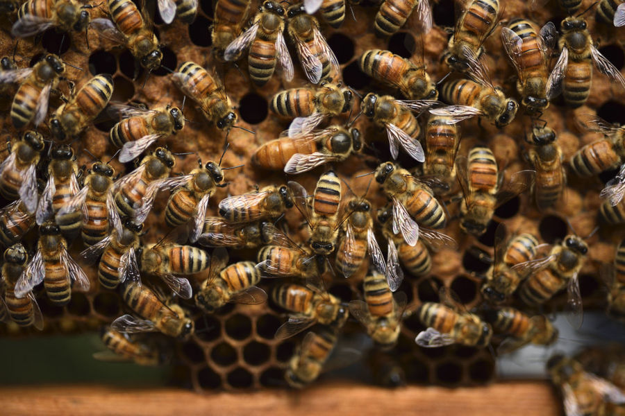 Bee nectar nests, the production of honey. Honeycomb Queen Bee Animal Themes Animal Wildlife Animals In The Wild APIculture Bee Beehive Beekeeping Beekeeping Box Beekeeping Tools Close-up Colony Day Honey Honey Bee Honeycomb Insect Large Group Of Animals Nature No People Outdoors Reward Sweet Wildlife