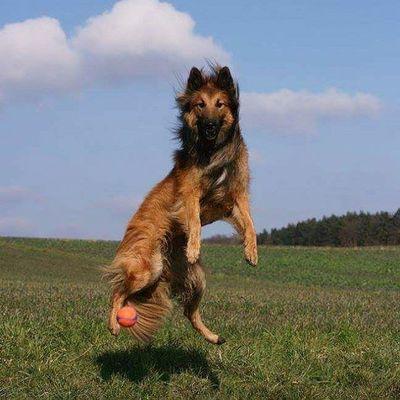 Noch ein Schnappschuss aus unserem kleinen Shooting 😄 Tervueren Belgischerschäferhund BelgianShepherd Canoneos Schnappschuss Hund Apportieren Ball Bällchen