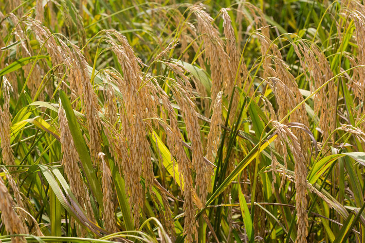 Agriculture Backgrounds Beauty In Nature Cereal Plant Close-up Crop  Day Ear Of Wheat Farm Field Full Frame Green Color Growth Nature No People Outdoors Plant Rice Rice Paddy Rural Scene Scenics Wheat