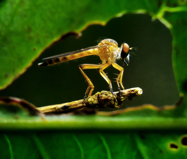 Macro shot of robber fly seen though eaten leaf