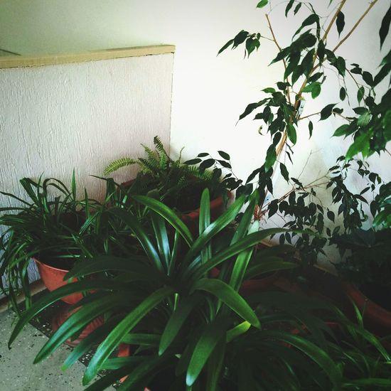 Leaf Cannabis Plant Marijuana - Herbal Cannabis Herb Close-up Plant Green Color