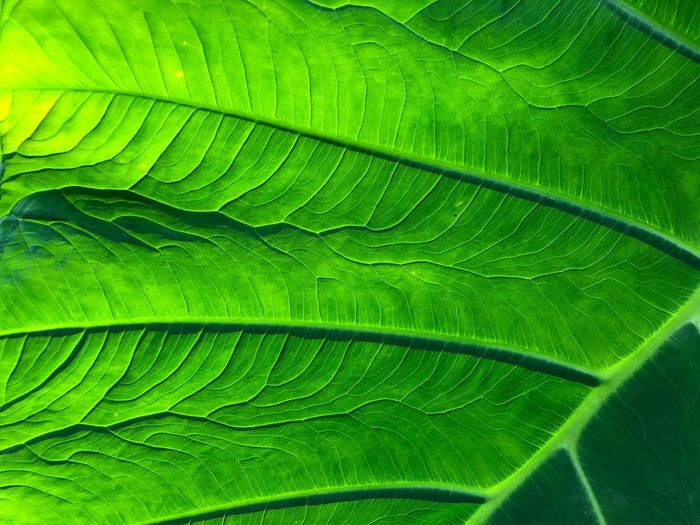 Veins Veins In Leaves Green Color Leaf Plant Part Full Frame Backgrounds Plant Close-up Nature Textured  Pattern Beauty In Nature Freshness