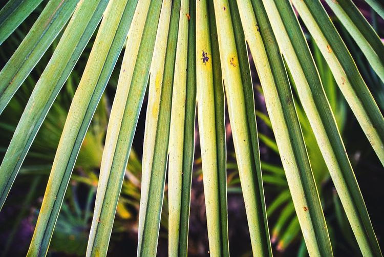 Leaf Nature Close-up Plant Pattern Beauty In Nature Green Outdoors Floral Blooming Leafs Full Frame Growth No People Day Backgrounds Palm Tree Natural Pattern Greenery Young Plant Leaf Vein Leaves Growing Plant Life Botany Fern Succulent Plant Palm Leaf Tropical Climate Plant Part