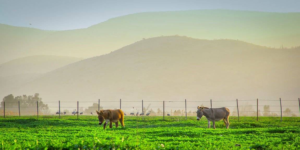 Animal Themes Beauty In Nature Butiful Nature Day Domestic Animals Domestic Cattle Donky Field Grass Green Color Herbivorous Home Is Where The Art Is Israel Landscape Livestock Mountain Nature No People Outdoors Sky Sunset Tranquil Scene Tranquility