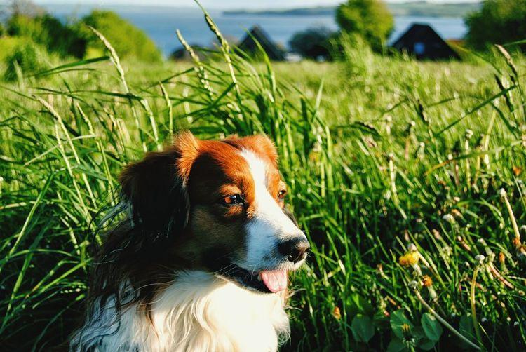 Spaniel dog on grassy field