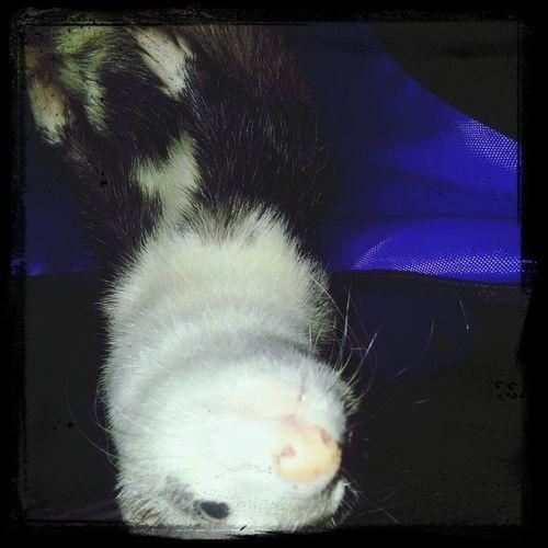 Cute Pet My Ferret