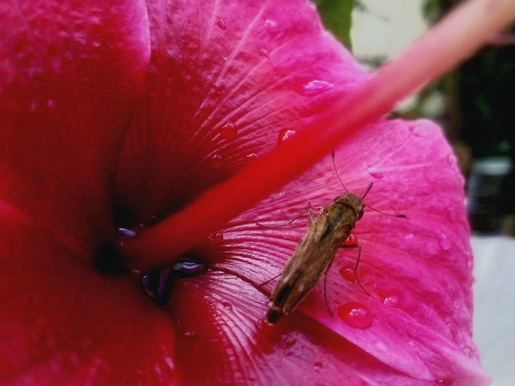 Flower Freshness Vibrant Color Pink Color Close-up Waterdrops Single Flower Insect Macro  Petal Beauty In Nature Extreme Close-up