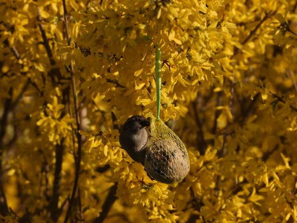 Animals In The Wild Beauty In Nature EyeEm Nature Lover Focus On Foreground Forsythienblüten In My Garden Spatz Sperling Wildlife
