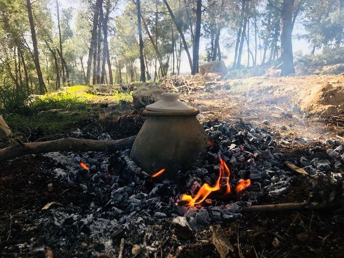 Fire Tree Plant