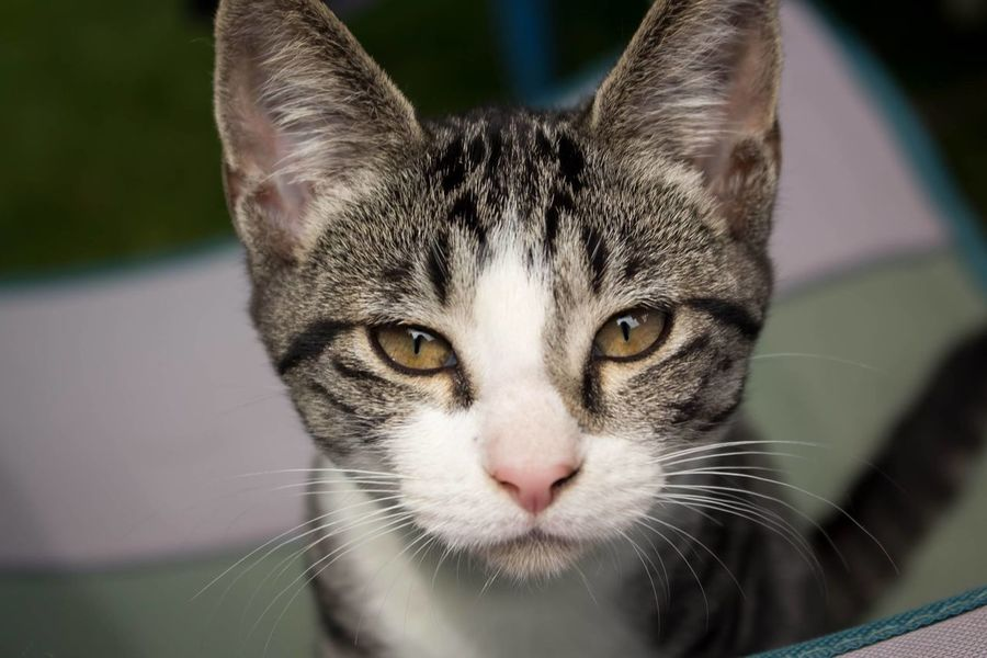 Bonnie 🔫Domestic Cat Pets One Animal Portrait Domestic Animals Animal Feline Looking At Camera Mammal Animal Themes Whisker Close-up Indoors  No People Day Vet  Hunter Eyes Are Soul Reflection Cat Bonnie&Clyde