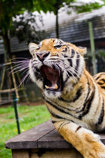 Animal Themes Animal Wildlife Animals In The Wild Big Cat Big Cat Tiger Photo Big Cats Big Cats Leopard Photo Close-up Day Feline Focus On Foreground Looking At Camera Mammal Nature No People One Animal Outdoors Portrait Tiger Yawning Yawning Cat