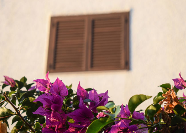 Bougainvillea window Shutter Shutters SPAIN Early Morning Golden Hour Flower Head Flower Pink Color Close-up Building Exterior Architecture Sky Plant Built Structure Bougainvillea In Bloom Flowering Plant Plant Life Blossom Botany Blooming Petal