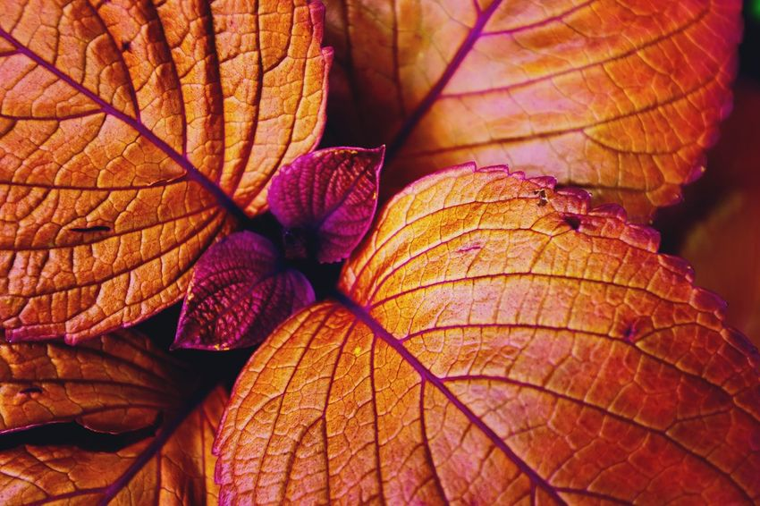 Leafy Autumn Leaf Change Orange Color Dry Nature Day No People Close-up Outdoors Beauty In Nature