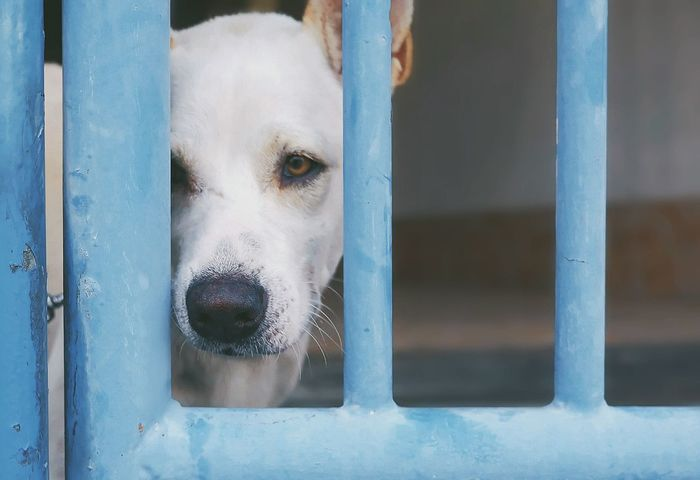 Softly focus of lonely white crossbred dog is waiting owner with sad eyes behind the old blue gate in pet portrait photography concept, close up shot with space Sad Animal Mammal Canine House Home LINE Blue Pattern Close Up Space Behind Softly Focus Inside Watchdog Sad Eyes Lonely Alone Waiting Gate Door Metal White Dog Crossbred Portrait EyeEm Selects Pets Portrait Close-up Latch