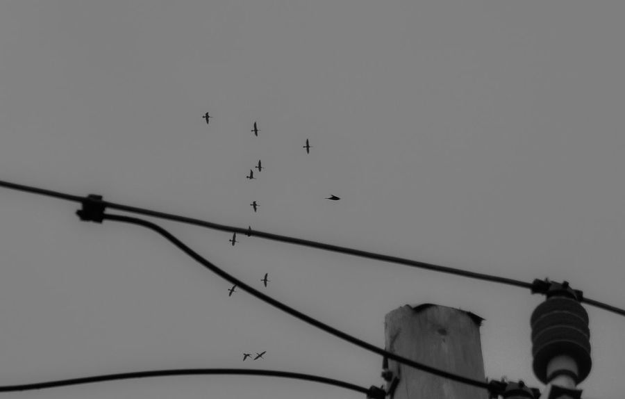 Animal Themes Animal Wildlife Animals In The Wild Bird Birds Black And White Cable Clear Sky Day Flock Of Birds Flying Large Group Of Animals Low Angle View Moment Captured Move On Movement Nature No People Outdoors Perching Silhouette Sky Telephone Line Urban Skyline