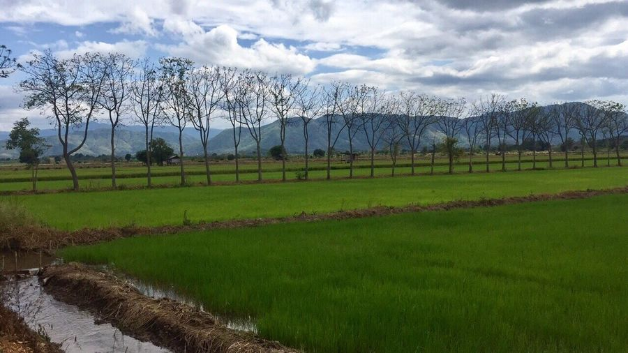 Rice field in my town Field Nature Sky Scenics Farm Agriculture Beauty In Nature Tree No People Rice Field Thairice Adapted To The City Adapted To The City The Week On Eyem