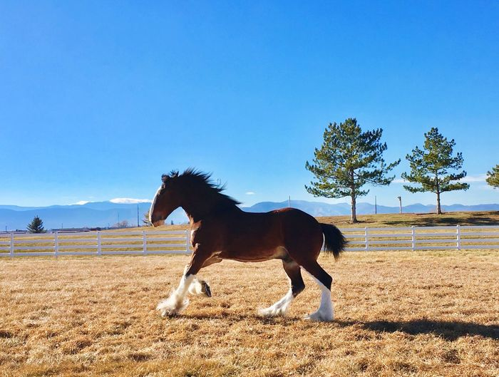 Horse One Animal Domestic Animals Field Mammal Animal Themes Herbivorous Tree Livestock Day Blue Paddock Nature Side View Clear Sky Sky Standing Landscape Outdoors No People