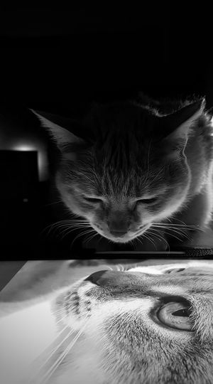 Animal Themes AntiM Black Background Blackandwhite Cat Cat Portrait Cat Watching Cat Watching Cat Photography Close-up Day Domestic Animals Eddie Tor Indoors  Mammal No People Pets Two Cats