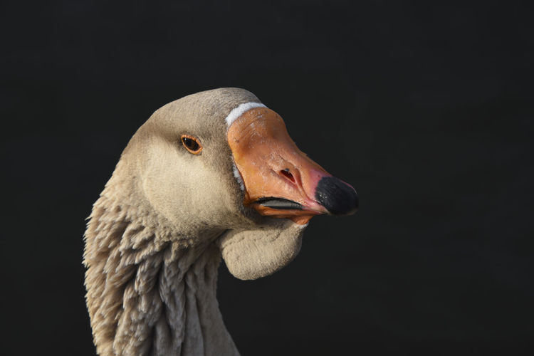 Portrait of a Brown Goose Animal Themes Animal Wildlife Animals In The Wild Beak Bird Black Background Close-up Egyption Goose Greylag Goose Nature No People One Animal Water Bird
