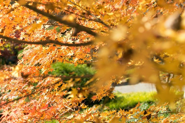 Japanese Maple Yellow Leaves Autumn Beauty In Nature Branch Change Close-up Day Grass Growth Leaf Nature No People Outdoors Scenics Tranquility Tree Yellow Yellow Maple