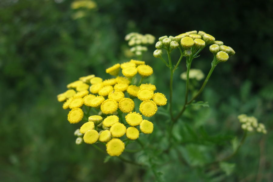 Yellow Flowers Tansy Yellow Flowers