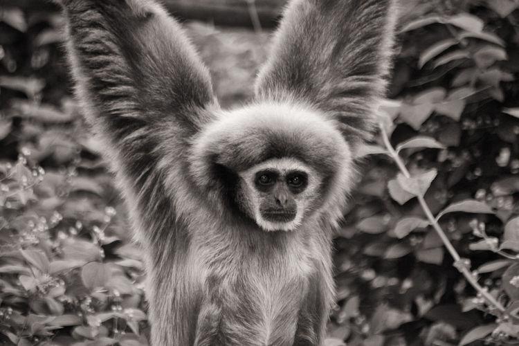 Weißhand-Gibbon Affe Ape Gibbon-Affe Gibbons Monkey Klettern Primat Säugetier Weißhand-Gibbon Animal Animal Wildlife Animals In The Wild Climbing Gibbon Looking At Camera Mammal Menschenaffe Monkey Nature One Animal Portrait Vertebrate