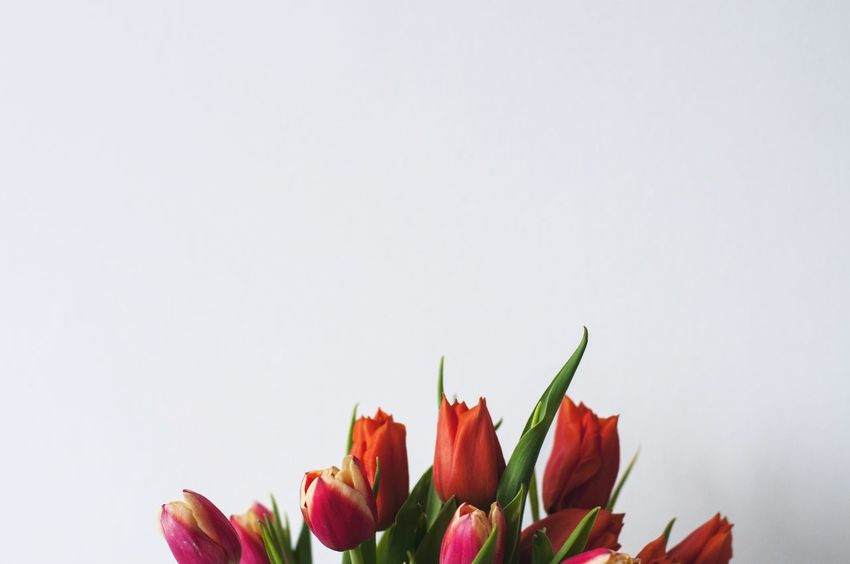 Just popping up Minimalism Eye4photography  EyeEm Best Shots Red Colors White Background Copy Space Studio Shot Flower No People Freshness Fragility Flower Head