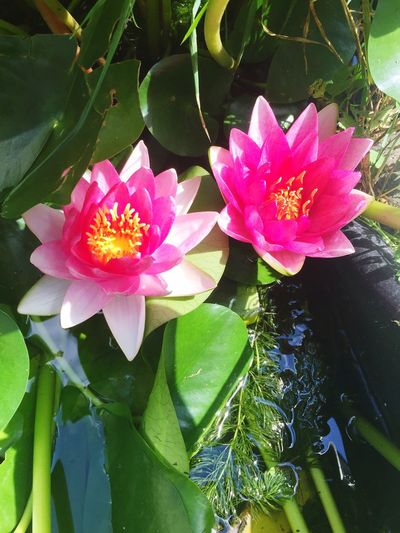 Flower Leaf Beauty In Nature Petal Nature Growth Freshness Plant Fragility Flower Head Water No People Day Outdoors Water Lily High Angle View Pink Color Green Color Lotus Water Lily Lake Mypond